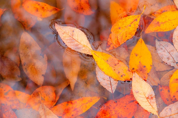 Осенние желтые листья на фоне лужи