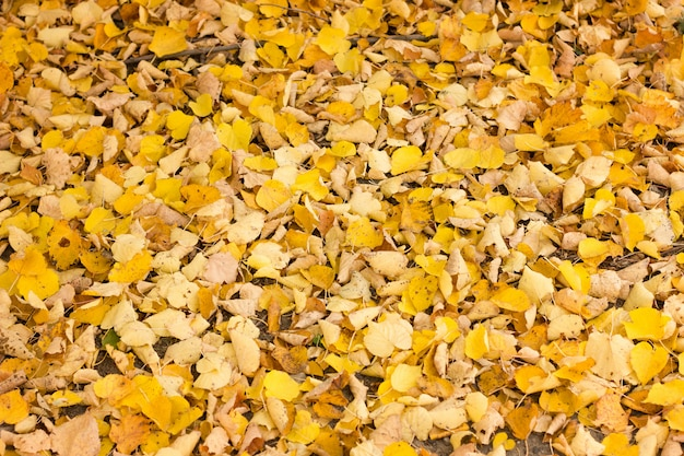 Autumn yellow leaves in the park, close - up, autumn background