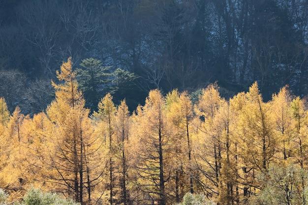 秋、黄色、松の木、森林、背景