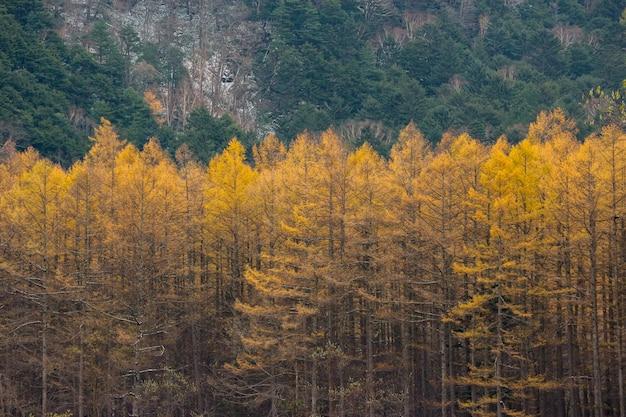 緑色の山に囲まれた秋の黄色の葉の松林。