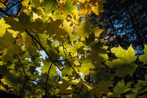 Autumn yellow leaves in sunlight close up. vibrant maple tree foliage. beautiful autumnal background.
