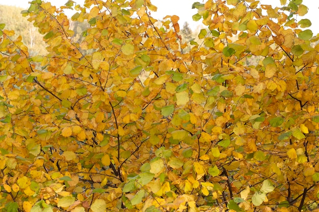Autumn yellow leaves on tree branches in october. autumn background.