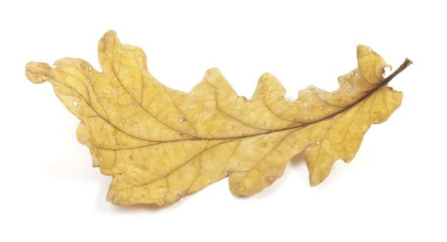 Autumn yellow oak leaf on white surface