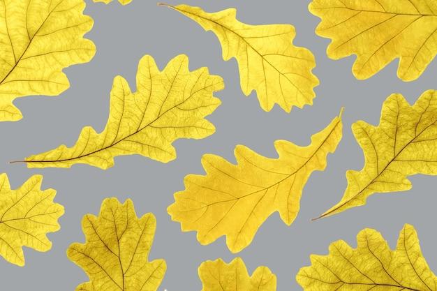 灰色の秋の黄色のカシの葉