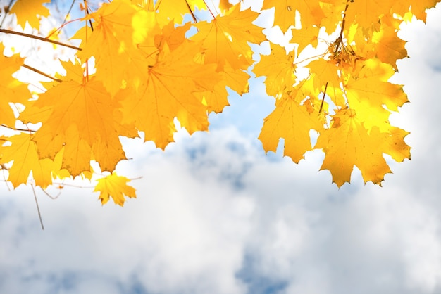 Autumn yellow and orange maple leaves on the blue sky background