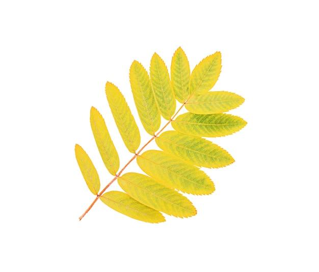 白い背景で隔離の秋の黄色のナナカマドの葉