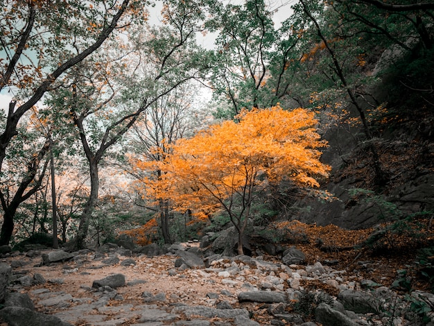 Autumn yellow tree in korean mountains