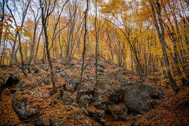 Autumn yellow trees in the forest in raine