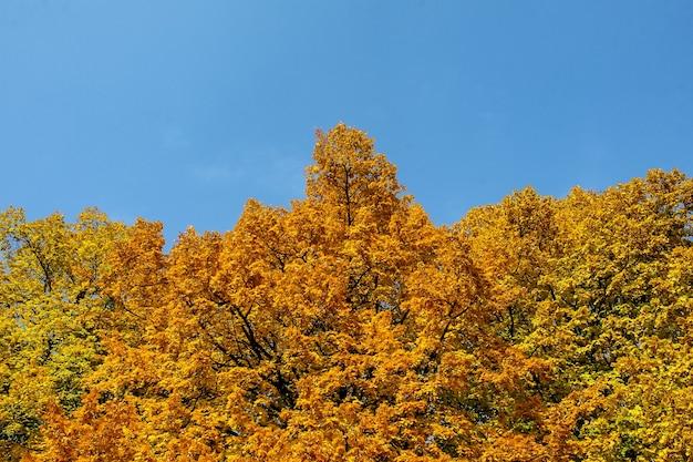 가을. 푸른 하늘에 대 한 강 근처 노란색 나무.