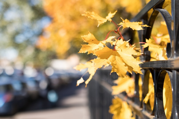 Autumn yellowed maple near the fence on a city street at sunny day, soft focus, blurred background
