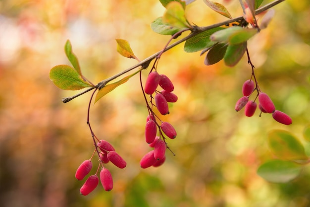 Autumnal branch with barberry  berries.