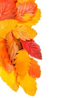Осенняя красочная красная ветка рябины, изолированные на белом фоне