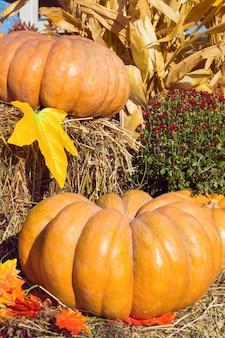 Осеннее украшение с тыквами. фон для осени, хэллоуина и дня благодарения