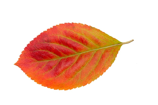 Autumnal leaf isolated on a white background