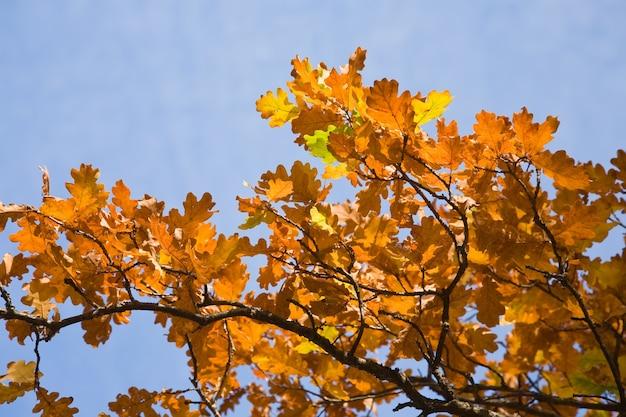 Autumnal  leaves of oak