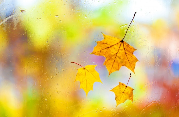 Autumnal maple leaves on wet beautiful colorful background
