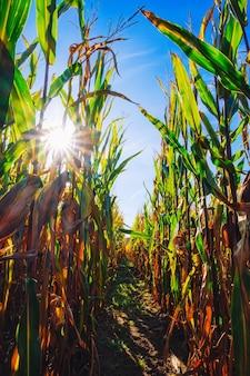Autumnal wilting cornfield with corn on the cob
