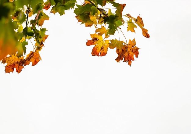白い背景に赤いカエデの葉と秋の