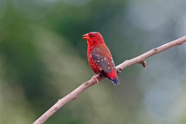 赤のavadavat amandava amandavaタイの男性の鳥