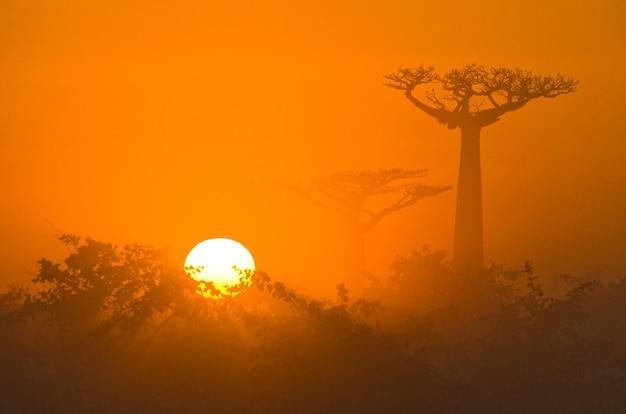 マダガスカルの霧の中の夜明けのバオバブのアベニュー