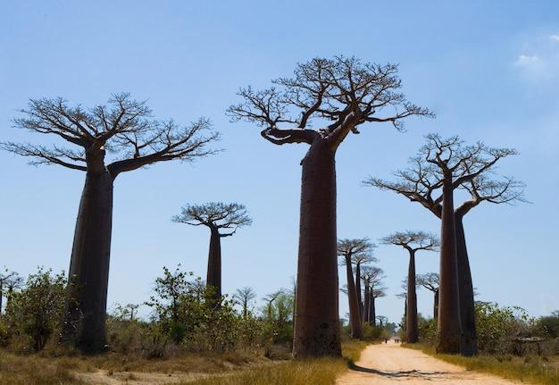 マダガスカルのバオバブ通り