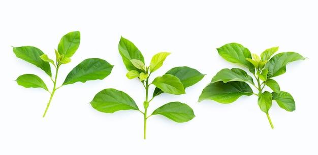 白い表面にアボカドの緑の葉