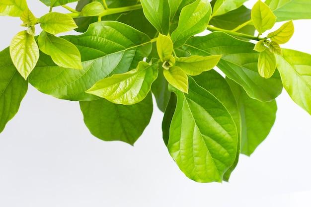 白い表面にアボカドの葉