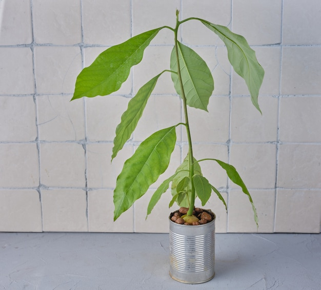Avocado plant on the table