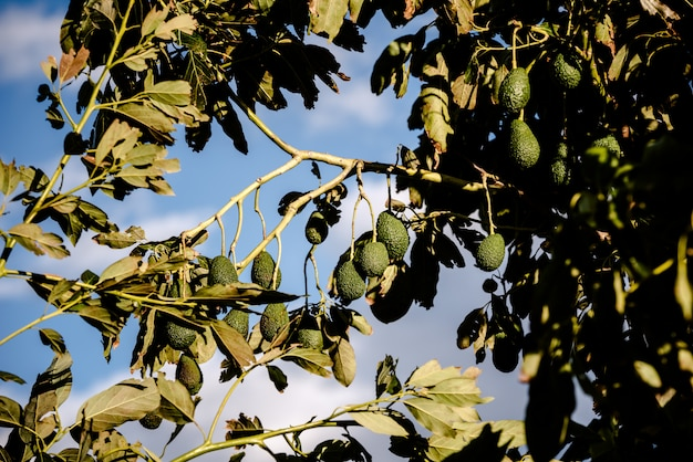 Avocado tree with many fruits hanging from its branches in the sun.