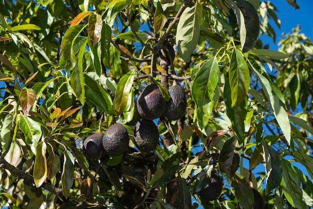 큰 아보카도 나무에 졸졸 흐르는 아보카도