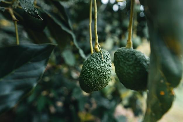 아보카도는 정원에서 자랍니다.