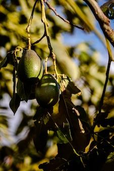 Авокадо на деревьях без косточек, persea americana, до того, как они созреют и будут готовы к уборке.