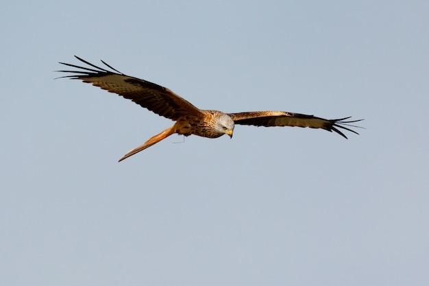 Awesome bird of prey in flight