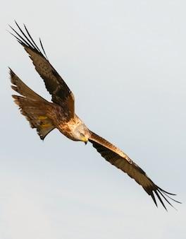 Awesome birds of prey in fligh