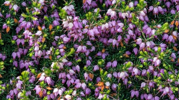 Чудесное цветение эрики в крыму.