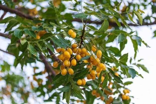 일반적으로 님, 님 나무 또는 인도 라일락으로 알려진 나무에 매달려 있는 azadirachta indica 씨앗