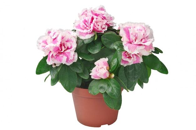 分離された鍋のツツジの花