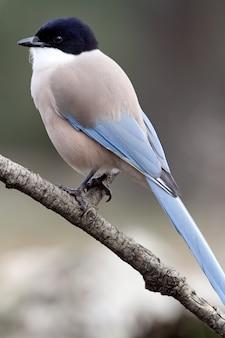 紺碧のカササギ、鳥、カラス科、紺碧、カササギ、鳥、cyanopica cyanus