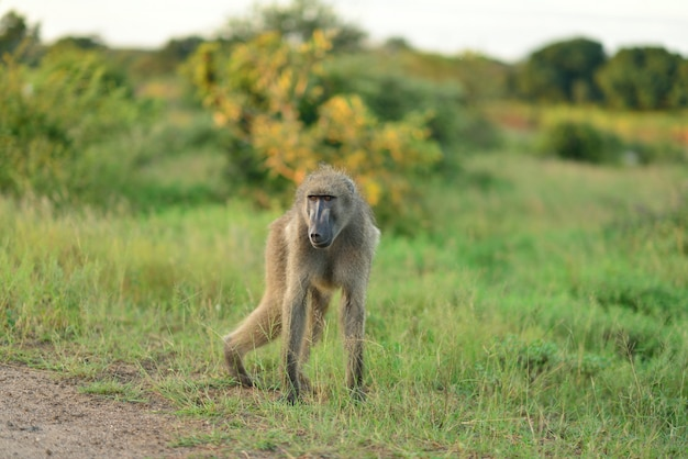 Baboon on the grass covered fields in the african jungles