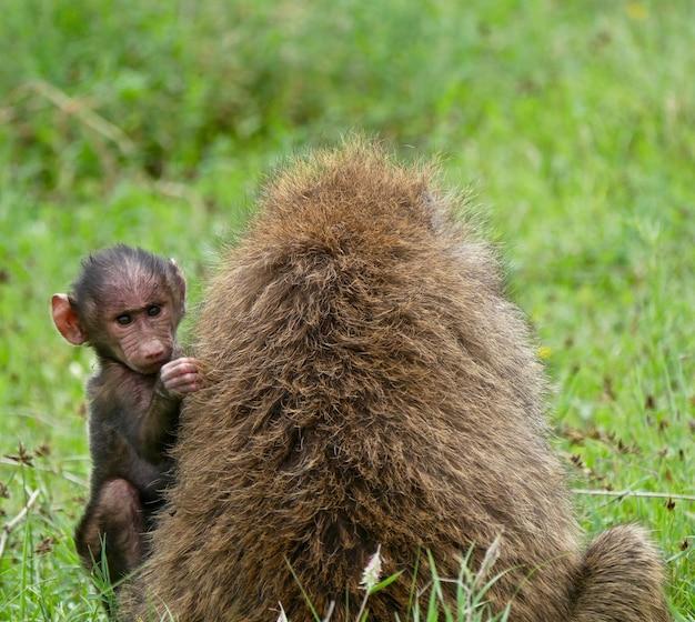 Бабуин в озере накуру - кения