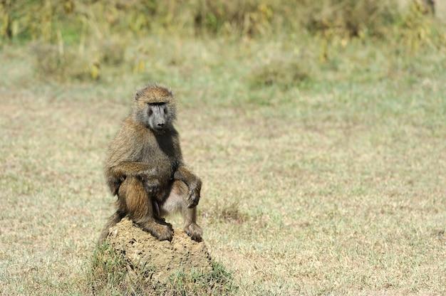 Бабуин в национальном парке кении, африка
