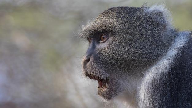 野生のヒヒ、アフリカ