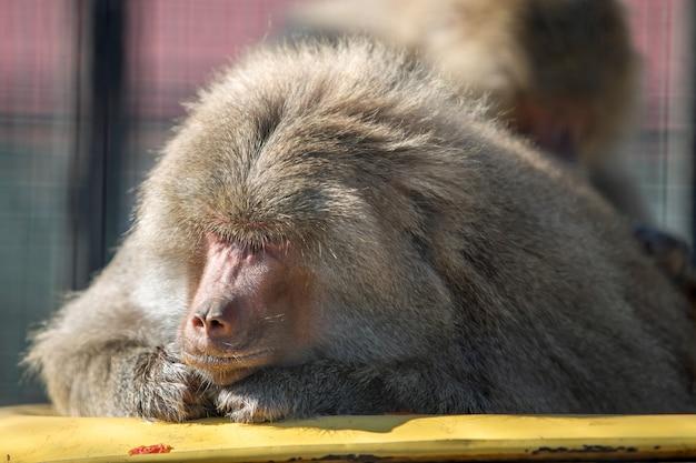 晴れた日に動物園でヒヒ猿。