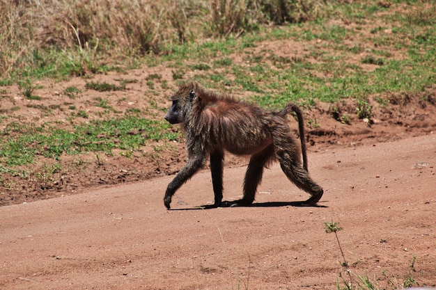 Baboon on safari in kenia and tanzania, africa