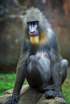 Бабуин сидит на земле