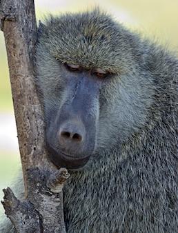 Павианы в естественной среде обитания. африка. кения.