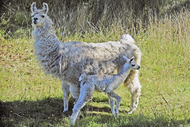 フィールドの上の大きなアルパカの前に立っている赤ちゃんアルパカ