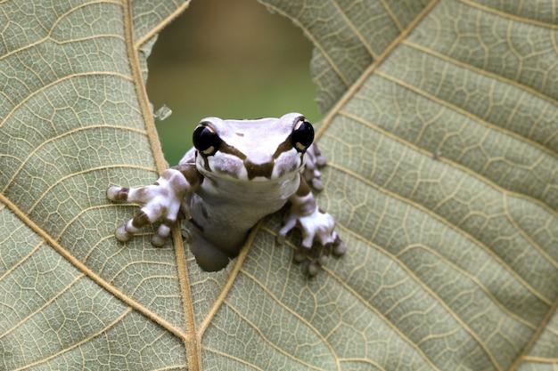 赤ちゃんアマゾンのミルクカエルが乾燥葉の真ん中に現れる