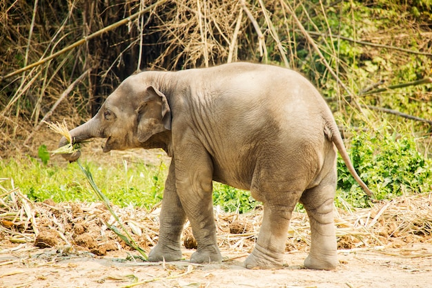 Baby asian elephant in nature