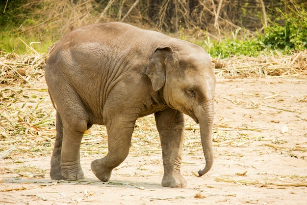 Baby asian elephant walking isolated in nature